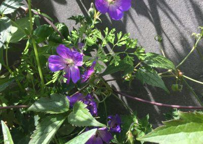 Geveltuin met ooievaarsbek (Geranium) - In Bloom