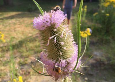 Kaardebol - inheems beplanting - In Bloom