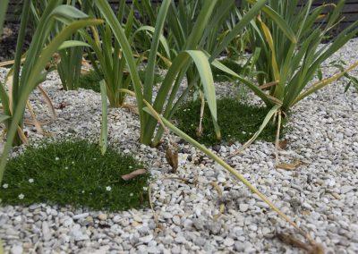 Betreedbare plantjes kunnen een saaie grindzone omtoveren tot een organisch deel van de tuin. De hier gebruikte plant kan trouwens prima tegen wat schaduw, voor zonneplekjes zijn er weer andere kandidaten!