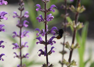 Siersalie - Salvia sylvestris - Bijenplant - ecologische tuinen - In Bloom