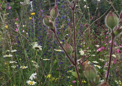 Weidebeplanting - wilde boemen - Koekoeksbloem - slangenkruid - duizendblad - leucanthemum - In Bloom