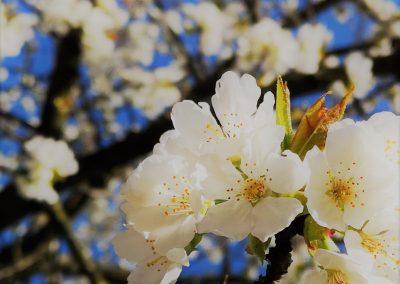 Kersenbloessems - Kerselaren verwennen ons met een prachtige bloessem in de lente, gevolgd door heerlijke kersen in de vroege zomer, wie wil er niet zo'n topper in de tuin? - In Bloom