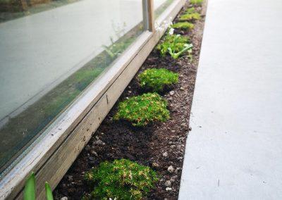 Klein maar fijn, en wat een impact! Deze betreedbare planten worden misschien niet meer dan 5 cm hoog, hun impact op het ontwerp is groots. Hun fris groen onderbreekt de robuuste betonnen oppervlakte en zal na verloop van tijd de volledige plantstrook bedekken als een zacht groen dekentje.