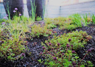 Op een daktuin is heel wat meer mogelijk dan vetplantjes! Deze Tijm, die op het punt staat in bloei te komen, voelt zich hier prima.