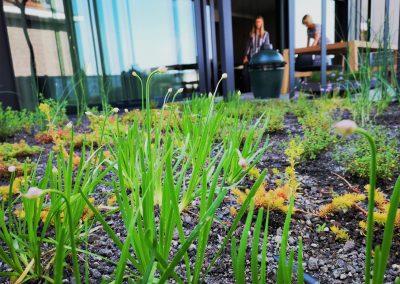 Een biodiverse eetbare daktuin: zelfs met een minimum aan substraat is er toch heel wat mogelijk! De frisgroene blaadjes en knoppen op de voorgrond behoren toe aan berglook (Allium senescens): hiervan kunnen zowel de kleine bolletjes, de bladeren als de bloempjes in de keuken gebruikt worden.