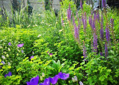 Bijenvriendelijke beplanting met Salvia, Campanula, Cosmos en Deschampsia in naturalistische stadstuin (In Bloom)