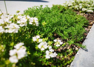 Betreedbare planten (Chamaemelum of loopkamille en Thymus, kruiptijm) groeien in de brede terrasvoegen (In Bloom)