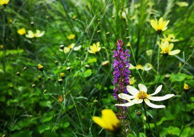Salvia, cosmos en smele in naturalistische stadstuin (In-Bloom)