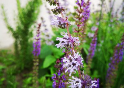 Salvia combinatie In Bloom