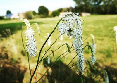 Naturalistische tuin - Witte pimpernel - In Bloom