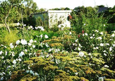 Naturalistische gezinstuin met duizendblad (Achillea millefolium) en kaasjeskruid (Malva moschata) - In Bloom