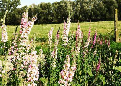 Naturalistische gezinstuin met inheemse kattenstaarten (Lythrum salicaria) - In Bloom